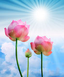 Pink lotus and sun light in blue sky Royalty Free Stock Images