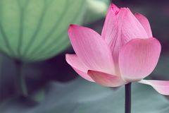 Pink lotus in the sunny day. In the summer in garden, green bacground royalty free stock photography