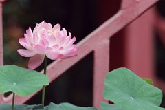 Pink lotus in the sunshine. In the summer in garden, transparent petals stock photo