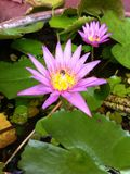 Pink lotus. Sweet pink lotus with bees fly around the pond Stock Photography