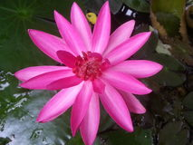Pink lotus. Thai warter lily Stock Photos