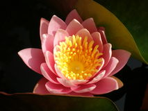 Pink Lotus Thailand Royalty Free Stock Photography