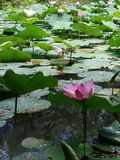 Pink lotus in Thailand Stock Photography