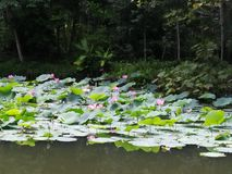 Pink lotus in Thailand Royalty Free Stock Images
