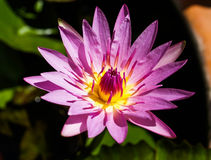 Pink Lotus. UBON RATCHATHANI, THAILAND - July 14: Lotus in Temple Thailand Royalty Free Stock Photo
