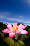 A pink lotus under blue sky Royalty Free Stock Photography