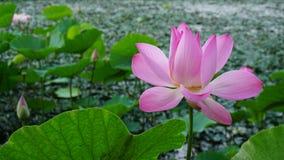 Pink lotus Vietnam.  stock photos