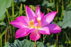 Pink lotus Vietnam.  stock images