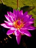 Pink lotus wallpaper Royalty Free Stock Photos