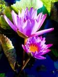 Pink lotus wallpaper Stock Images