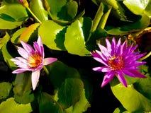 Pink lotus wallpaper Royalty Free Stock Images