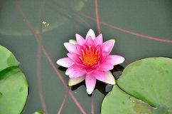 Pink Lotus in water Royalty Free Stock Image