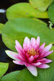 Pink Lotus in water Stock Photography