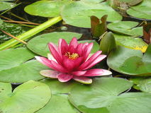 Pink lotus on the water royalty free stock photos