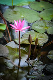 Pink Lotus Water Lilly Royalty Free Stock Photos