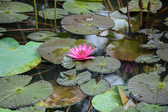 Pink Lotus Water Lilly Royalty Free Stock Images