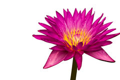 Pink lotus, Water lily. Isolated on white background Stock Image