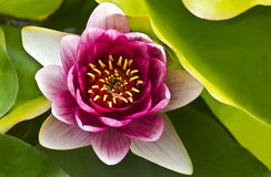PInk Lotus. PInk water lily on a green background Stock Photo