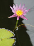 Pink lotus/water lily with green leaves in the pond Royalty Free Stock Image