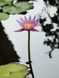 Pink lotus/water lily with green leaves in the pond Stock Images