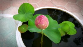 Pink Lotus and Water Lily Pad in Small Bowl. Pink Lotus and Water Lily Pad in White Small Bowl Stock Images