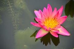 Pink Lotus water lily. In pond nature Royalty Free Stock Photo