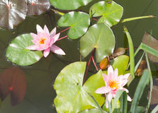 Pink lotus (water lily) Royalty Free Stock Photography