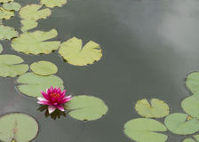 Pink lotus (water lily) Stock Photos