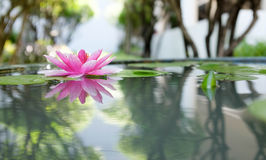 Pink lotus or water lily in pond Royalty Free Stock Images