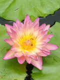 Pink lotus. On water outdoor Royalty Free Stock Images