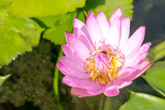 The pink lotus Royalty Free Stock Photos