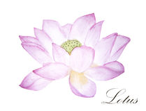 Pink lotus watercolor illustration isolated on white background. Hand painted lotus flower Stock Photos