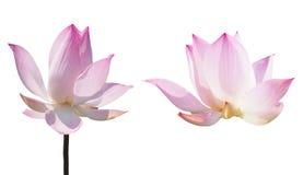 Pink lotus waterlily Stock Photos