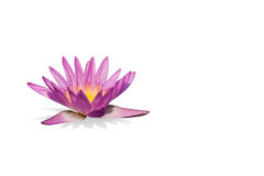 Pink lotus on the white background,  Royalty Free Stock Photo