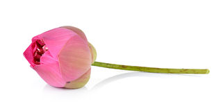 Pink lotus on white background Royalty Free Stock Photography
