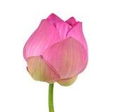 Pink lotus on white background Stock Photos