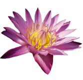 Pink Flower Lotus Royalty Free Stock Photography