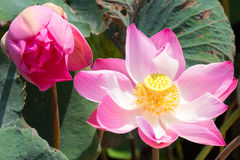 Pink lotus with yellow center Royalty Free Stock Photography