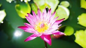 Pink Lotus. Pink yellow lotus flower close up Royalty Free Stock Photos