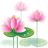 Pink lotuses Stock Photo