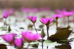Pink lotuses blooming in marshland. Hong Kong. Royalty Free Stock Image