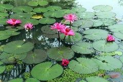 Pink lotuses Stock Photos