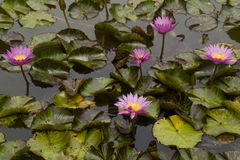 Pink Lotuses In Lagoon Stock Photography