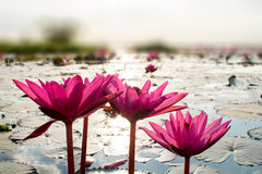Pink lotuses in the lake Royalty Free Stock Photography