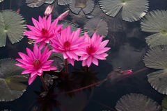 Pink lotuses in the lake Royalty Free Stock Image