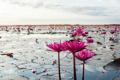 Pink lotuses in the lake Stock Image