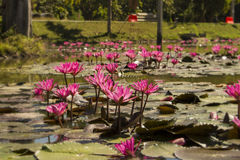Pink Lotuses in the pond Royalty Free Stock Photography