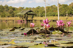 Pink Lotuses in the pond with rorest as background Stock Photography