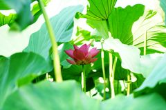 A pink lotusflower is circled by some leaves in pomd in summer. The flower is fresh and the leaf are green.The flower feel well just like in house Royalty Free Stock Photos