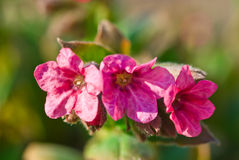Pink Lungwort Royalty Free Stock Photos